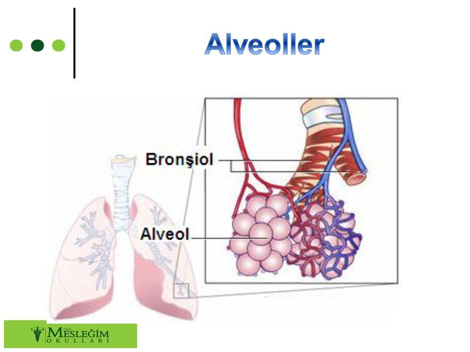 ○ Alveol duvarında bulunan delikler iki komşu alveolü birbirine bağlayarak iki alveol arasında transportu sağlar.