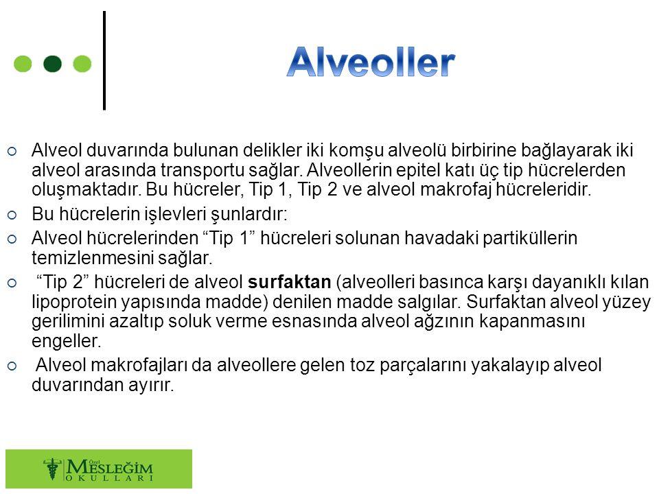 ○ Alveol duvarında bulunan delikler iki komşu alveolü birbirine bağlayarak iki alveol arasında transportu sağlar. Alveollerin epitel katı üç tip hücre