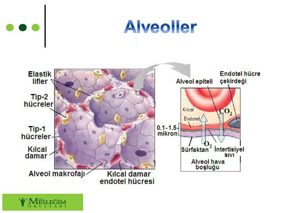 ○ Akciğerlerin en önemli görevi, dışarıdaki havayı alıp hava içindeki oksijenin alveollerin etrafındaki kılcal kan damarlarına geçmesini sağlamaktır.