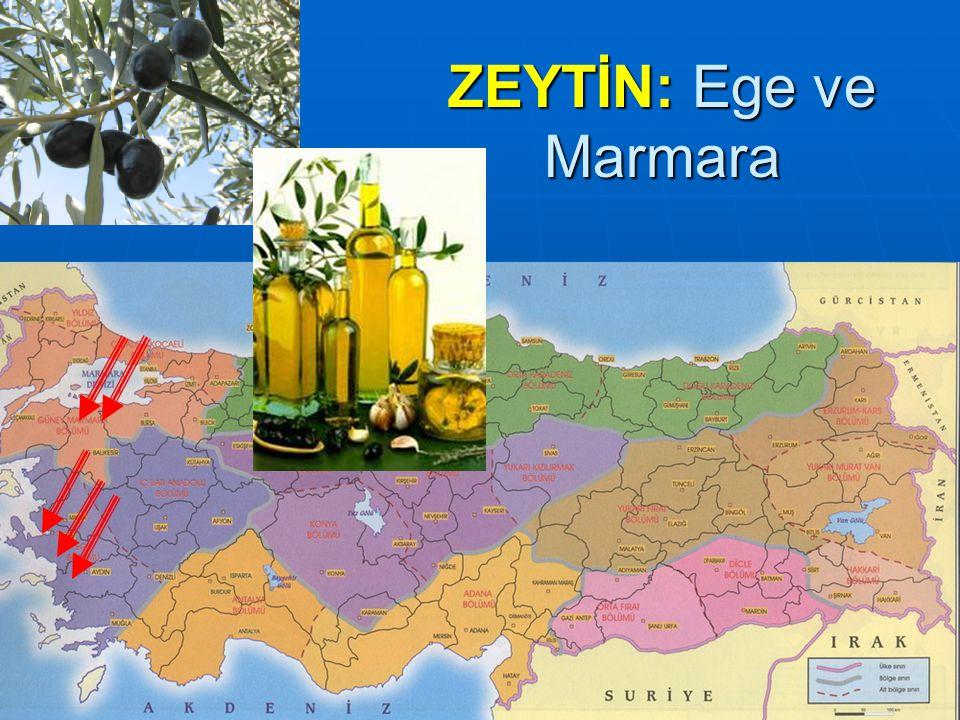 ZEYTİN: Ege ve Marmara