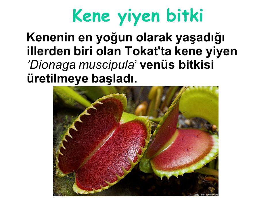 Kene yiyen bitki Kenenin en yoğun olarak yaşadığı illerden biri olan Tokat'ta kene yiyen 'Dionaga muscipula' venüs bitkisi üretilmeye başladı.