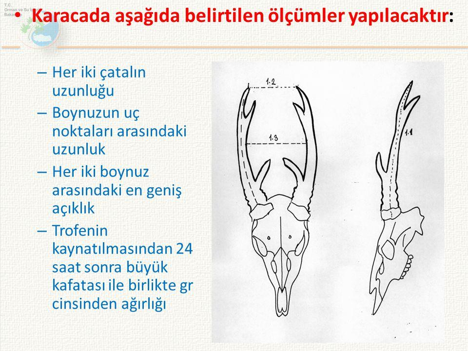 – Her iki çatalın uzunluğu – Boynuzun uç noktaları arasındaki uzunluk – Her iki boynuz arasındaki en geniş açıklık – Trofenin kaynatılmasından 24 saat