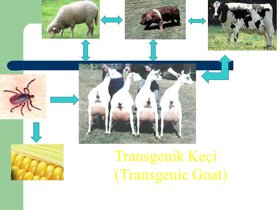 Transgenik Keçi (Transgenic Goat)