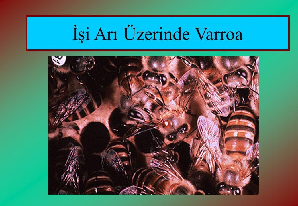 İşi Arı Üzerinde Varroa