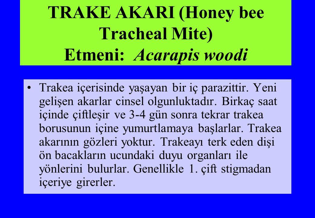 TRAKE AKARI (Honey bee Tracheal Mite) Etmeni: Acarapis woodi Trakea içerisinde yaşayan bir iç parazittir. Yeni gelişen akarlar cinsel olgunluktadır. B