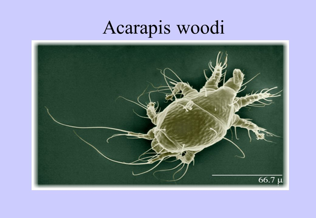Acarapis woodi