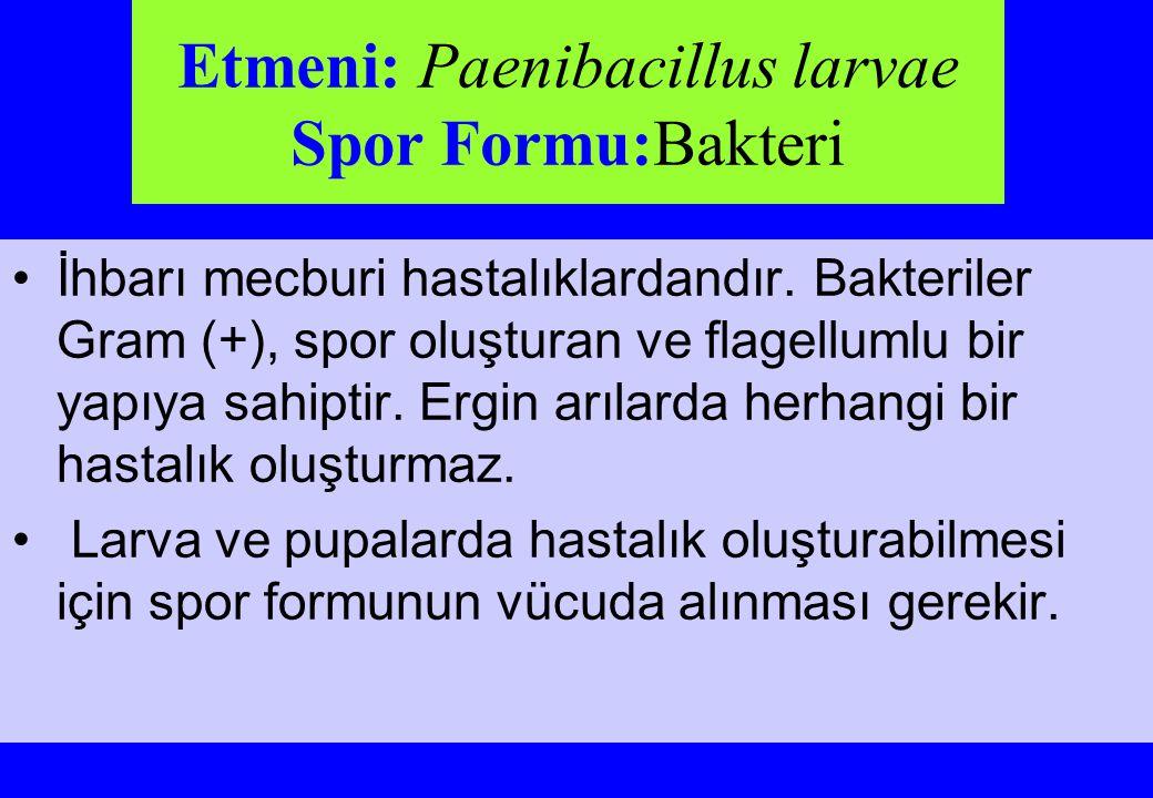 Etmeni: Paenibacillus larvae Spor Formu:Bakteri İhbarı mecburi hastalıklardandır. Bakteriler Gram (+), spor oluşturan ve flagellumlu bir yapıya sahipt