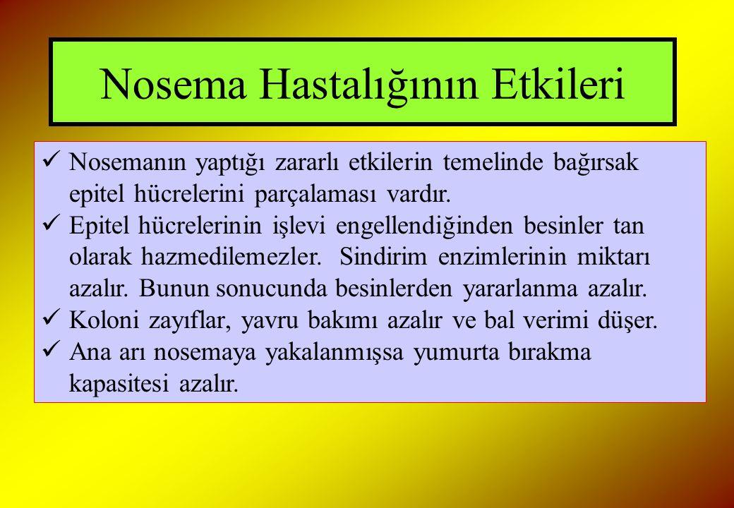 Nosema Hastalığının Etkileri Nosemanın yaptığı zararlı etkilerin temelinde bağırsak epitel hücrelerini parçalaması vardır. Epitel hücrelerinin işlevi