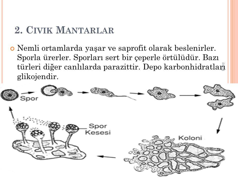 2.C IVIK M ANTARLAR Nemli ortamlarda yaşar ve saprofit olarak beslenirler.