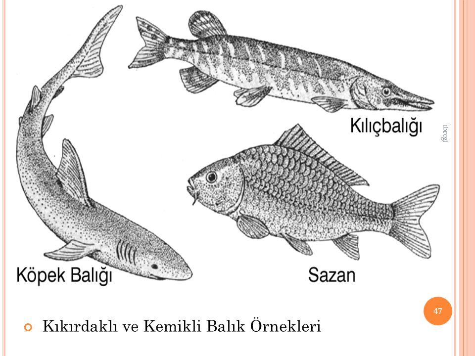Kıkırdaklı ve Kemikli Balık Örnekleri 47 ibrcgl