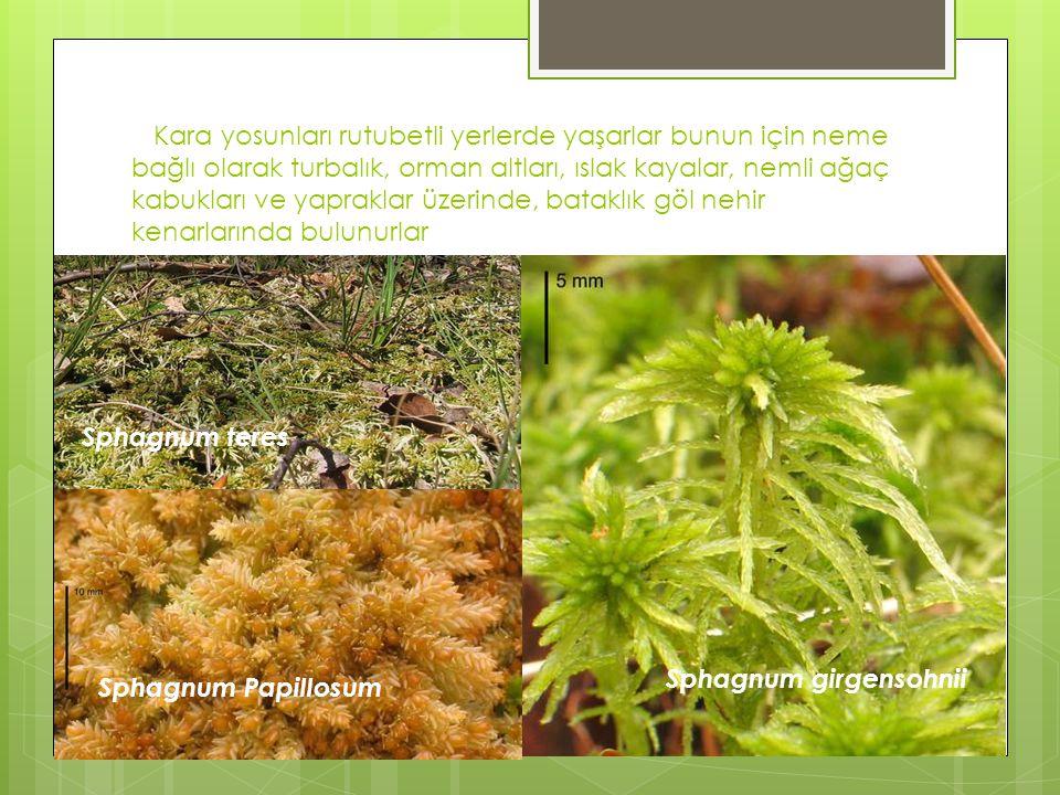 Kara yosunları rutubetli yerlerde yaşarlar bunun için neme bağlı olarak turbalık, orman altları, ıslak kayalar, nemli ağaç kabukları ve yapraklar üzer