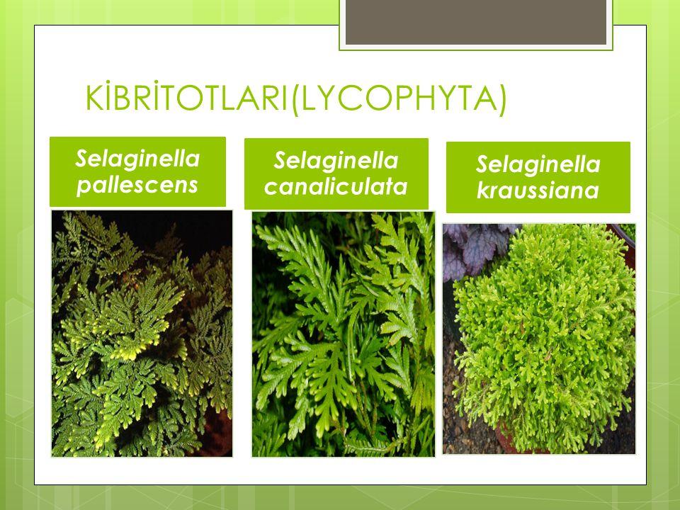 KİBRİTOTLARI(LYCOPHYTA) Selaginella pallescens Selaginella canaliculata Selaginella kraussiana