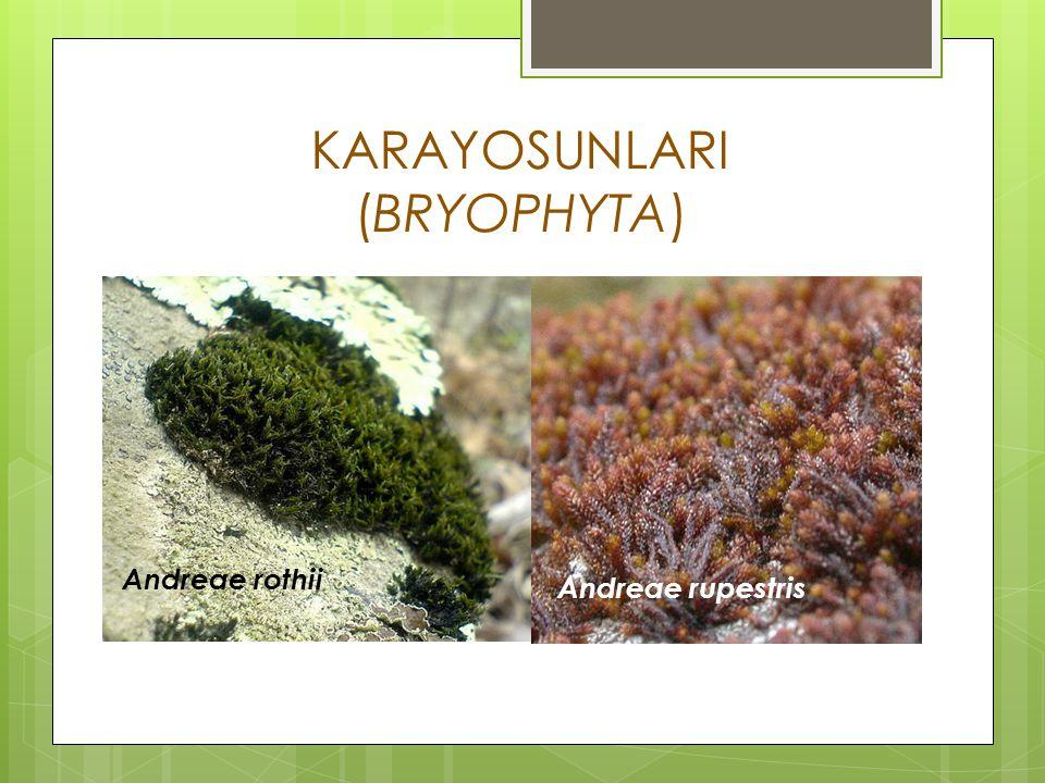 Algler,mantarlar ve likenlerden daha gelişmiş bir yapıya sahiptirlerdir.Klorofil a ve b,karoten ihtiva eden ototrof bitkilerdir.Depo maddeleri yağ ve nişastadır.