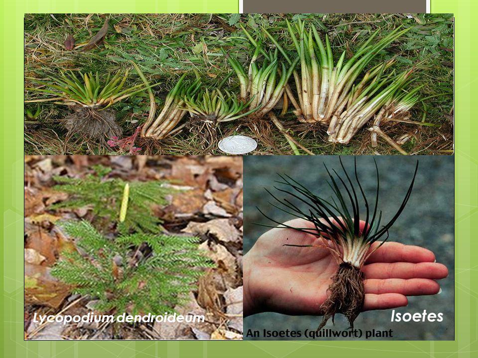 Lycopodium dendroideum Isoetes