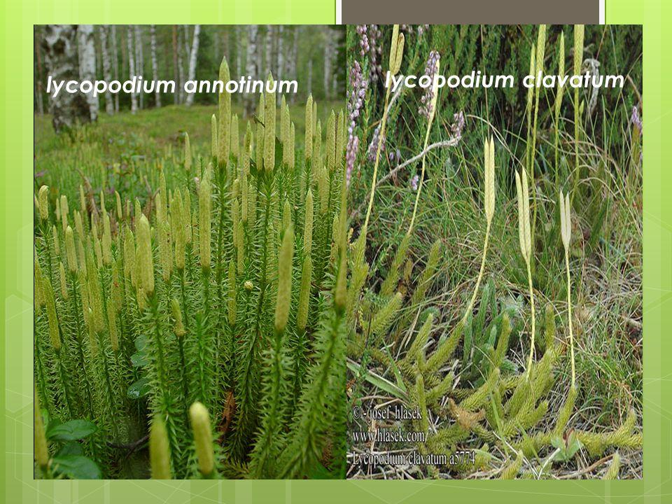 lycopodium annotinum lycopodium clavatum