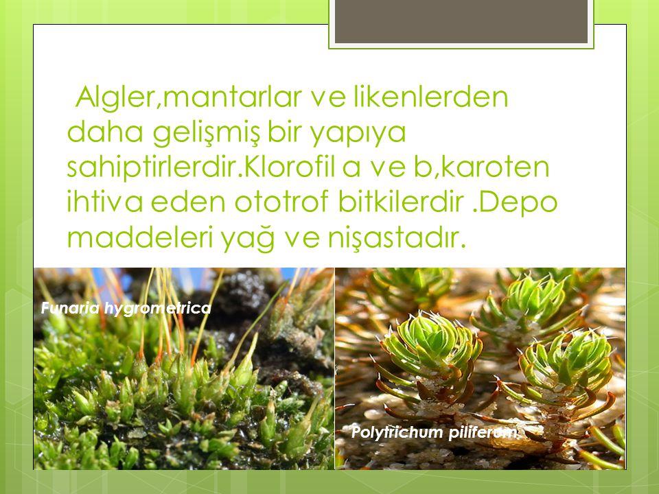 Algler,mantarlar ve likenlerden daha gelişmiş bir yapıya sahiptirlerdir.Klorofil a ve b,karoten ihtiva eden ototrof bitkilerdir.Depo maddeleri yağ ve