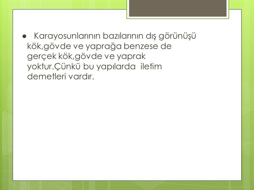 Dryopteris dilatata Dryopteris goldianaDryopteris filix pteridium aquilinum