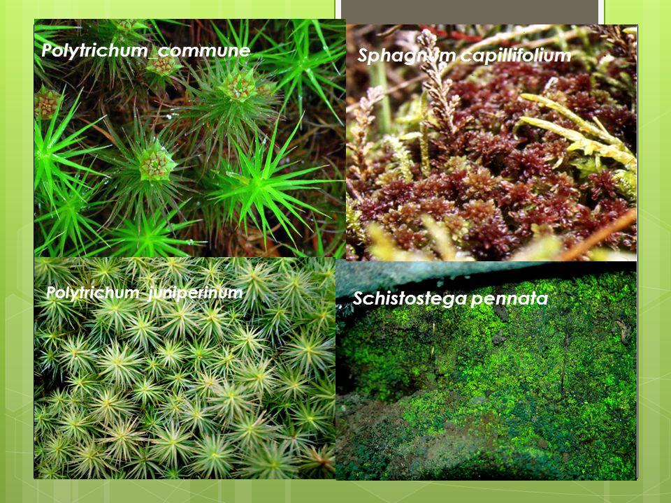 Polytrichum_commune Polytrichum_juniperinum Schistostega pennata Sphagnum capillifolium