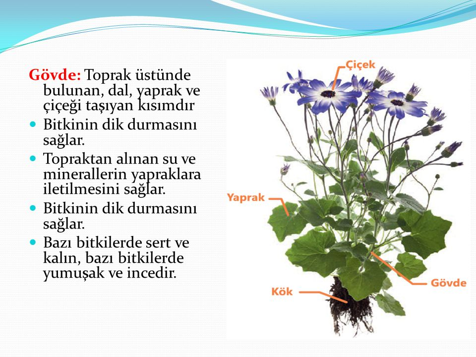 Gövde: Toprak üstünde bulunan, dal, yaprak ve çiçeği taşıyan kısımdır Bitkinin dik durmasını sağlar. Topraktan alınan su ve minerallerin yapraklara il