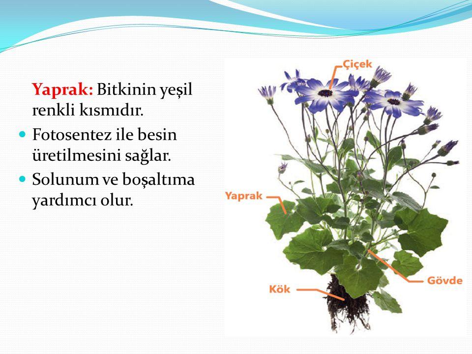 Yaprak: Bitkinin yeşil renkli kısmıdır. Fotosentez ile besin üretilmesini sağlar. Solunum ve boşaltıma yardımcı olur.