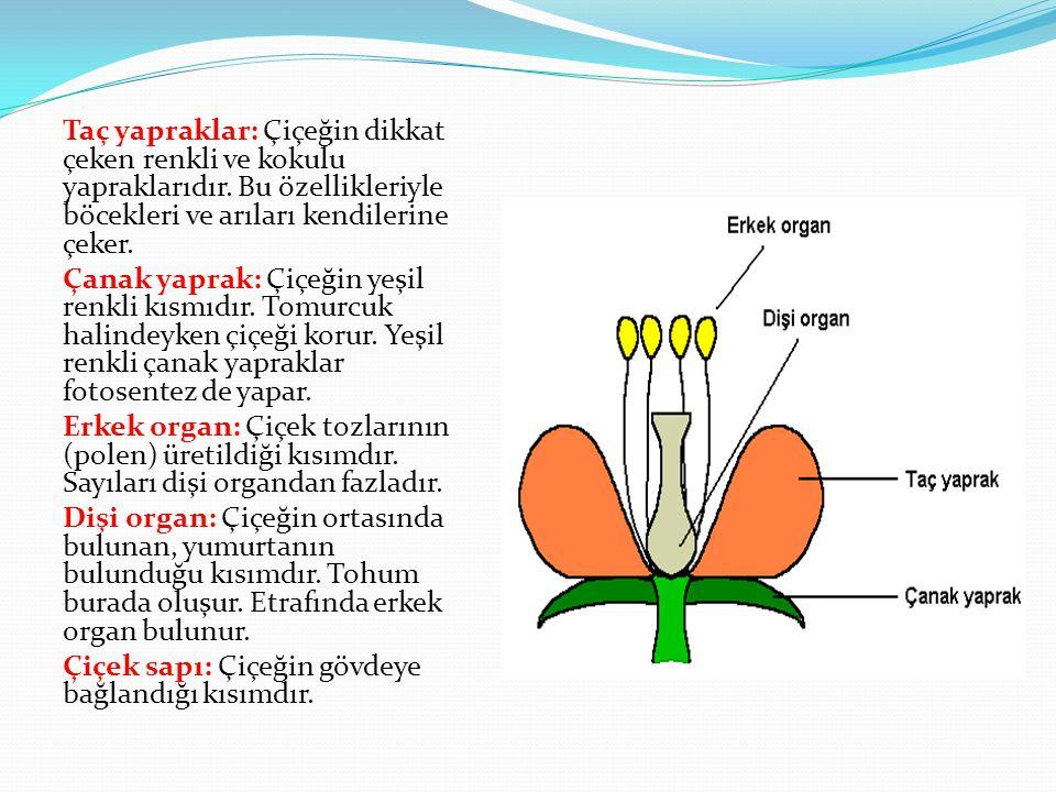 Taç yapraklar: Çiçeğin dikkat çeken renkli ve kokulu yapraklarıdır. Bu özellikleriyle böcekleri ve arıları kendilerine çeker. Çanak yaprak: Çiçeğin ye
