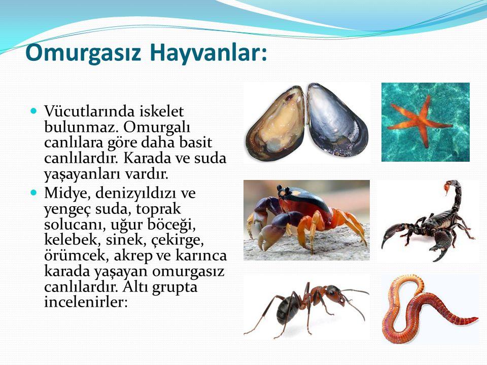 Omurgasız Hayvanlar: Vücutlarında iskelet bulunmaz. Omurgalı canlılara göre daha basit canlılardır. Karada ve suda yaşayanları vardır. Midye, denizyıl