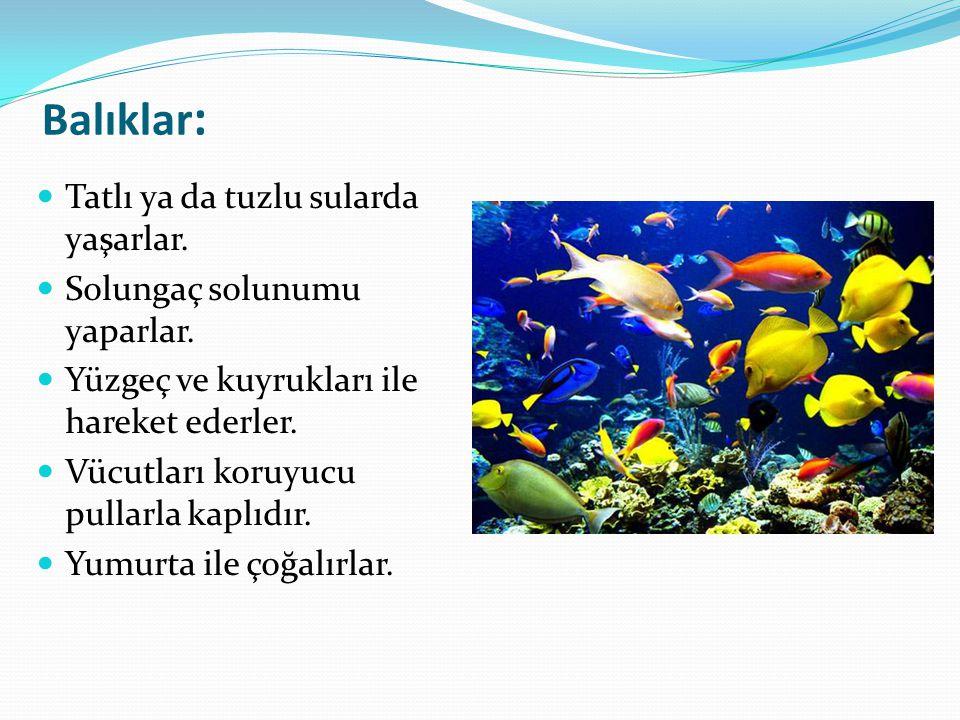Balıklar : Tatlı ya da tuzlu sularda yaşarlar. Solungaç solunumu yaparlar. Yüzgeç ve kuyrukları ile hareket ederler. Vücutları koruyucu pullarla kaplı