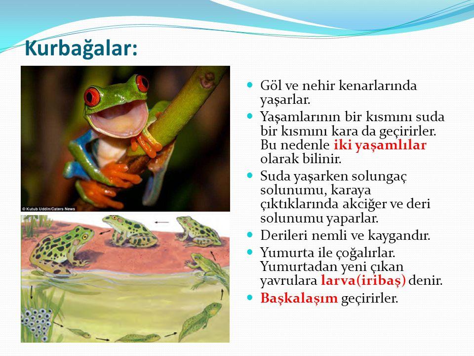 Kurbağalar: Göl ve nehir kenarlarında yaşarlar. Yaşamlarının bir kısmını suda bir kısmını kara da geçirirler. Bu nedenle iki yaşamlılar olarak bilinir