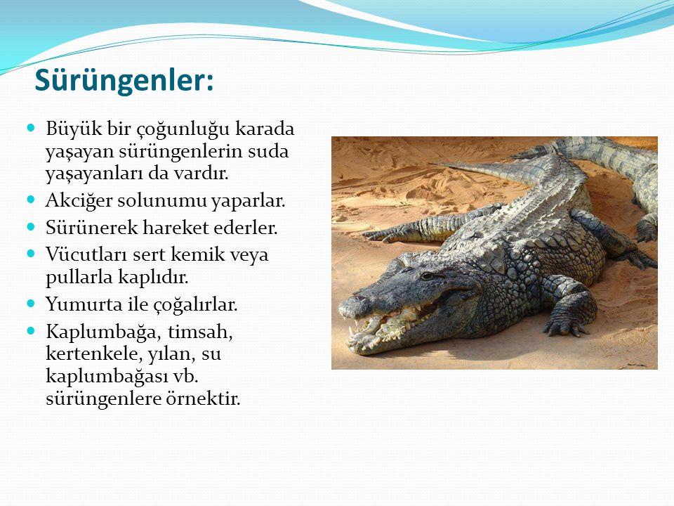 Sürüngenler: Büyük bir çoğunluğu karada yaşayan sürüngenlerin suda yaşayanları da vardır. Akciğer solunumu yaparlar. Sürünerek hareket ederler. Vücutl
