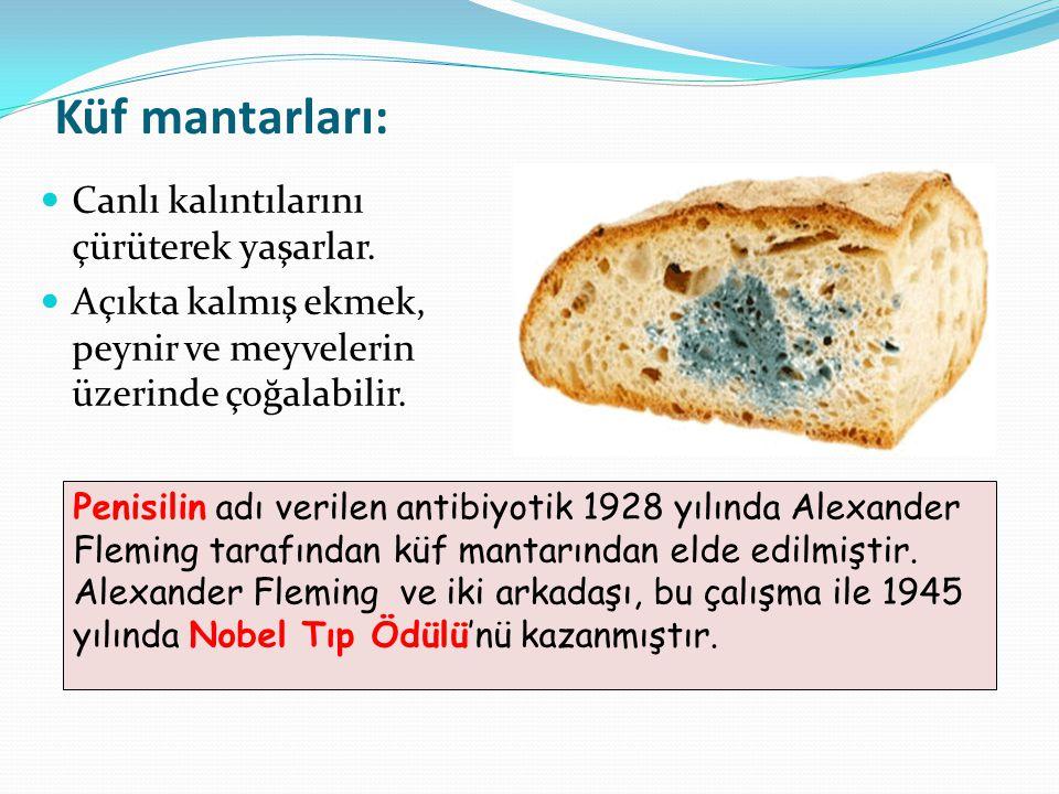 Küf mantarları: Canlı kalıntılarını çürüterek yaşarlar. Açıkta kalmış ekmek, peynir ve meyvelerin üzerinde çoğalabilir. Penisilin adı verilen antibiyo