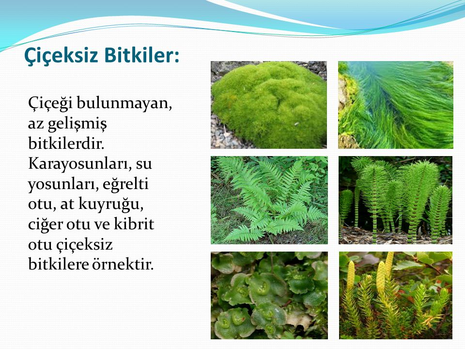 Çiçeksiz Bitkiler: Çiçeği bulunmayan, az gelişmiş bitkilerdir. Karayosunları, su yosunları, eğrelti otu, at kuyruğu, ciğer otu ve kibrit otu çiçeksiz
