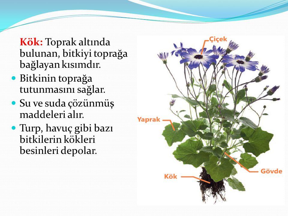 Kök: Toprak altında bulunan, bitkiyi toprağa bağlayan kısımdır. Bitkinin toprağa tutunmasını sağlar. Su ve suda çözünmüş maddeleri alır. Turp, havuç g