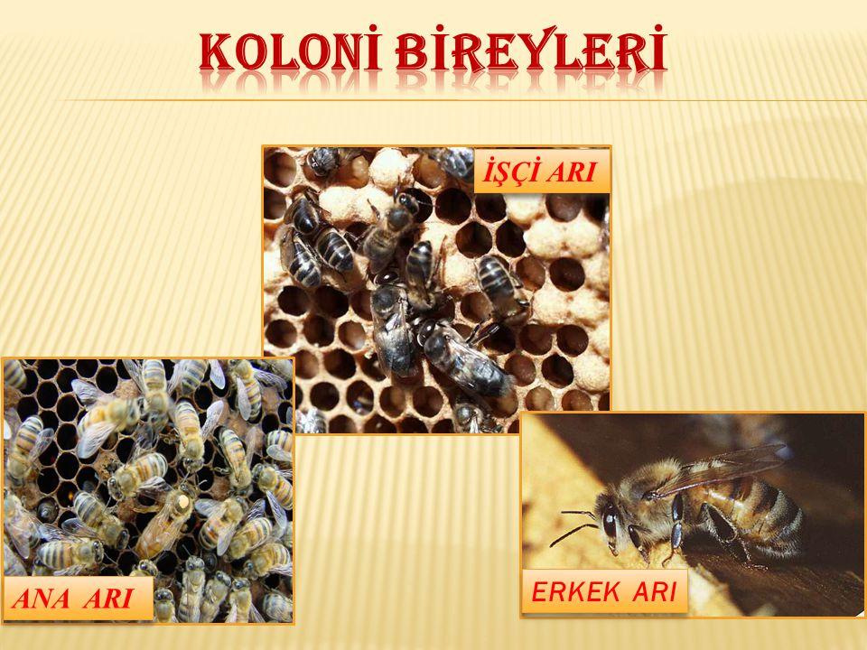 Larvayı ve pupayı etkileyen bir mantar hastalığıdır.