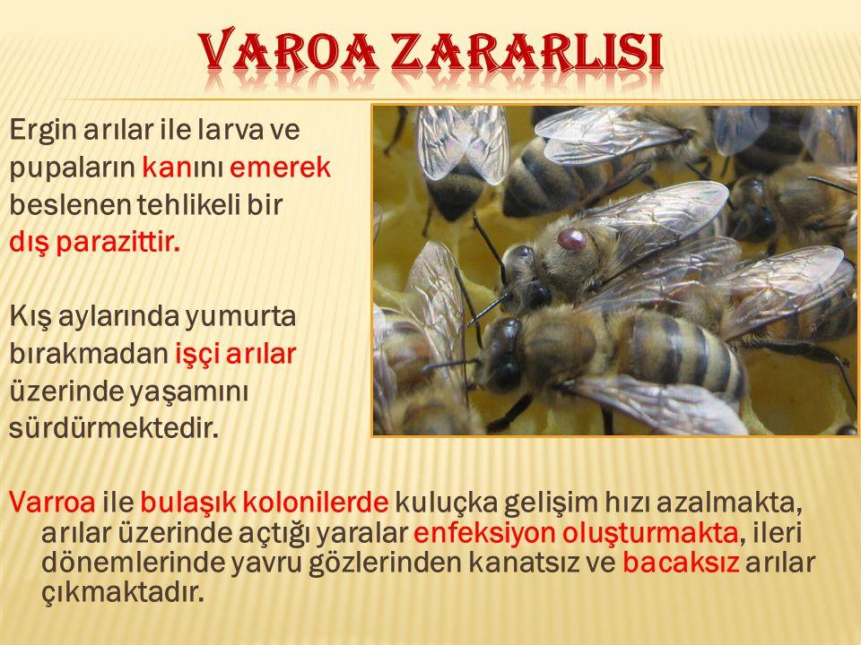 Ergin arılar ile larva ve pupaların kanını emerek beslenen tehlikeli bir dış parazittir. Kış aylarında yumurta bırakmadan işçi arılar üzerinde yaşamın