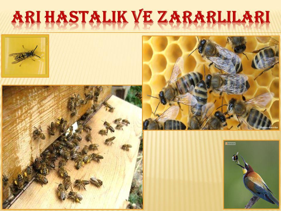 Ergin arı hastalığıdır.Etmeni Nosema apis adı verilen bir protozoadır.