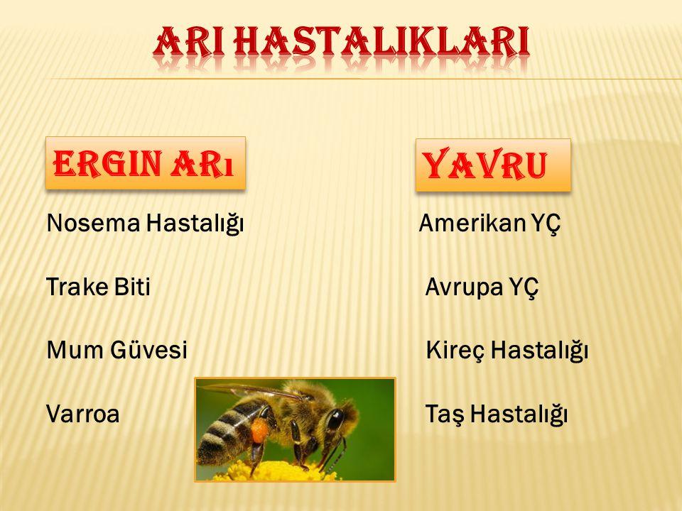 Hastalığa yakalanan arılar uçmaya çalışırlar, uçamazlar.