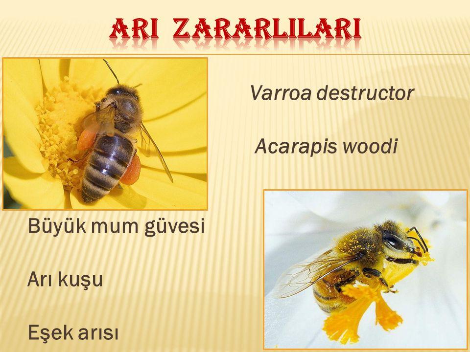 Varroa destructor Acarapis woodi Büyük mum güvesi Arı kuşu Eşek arısı