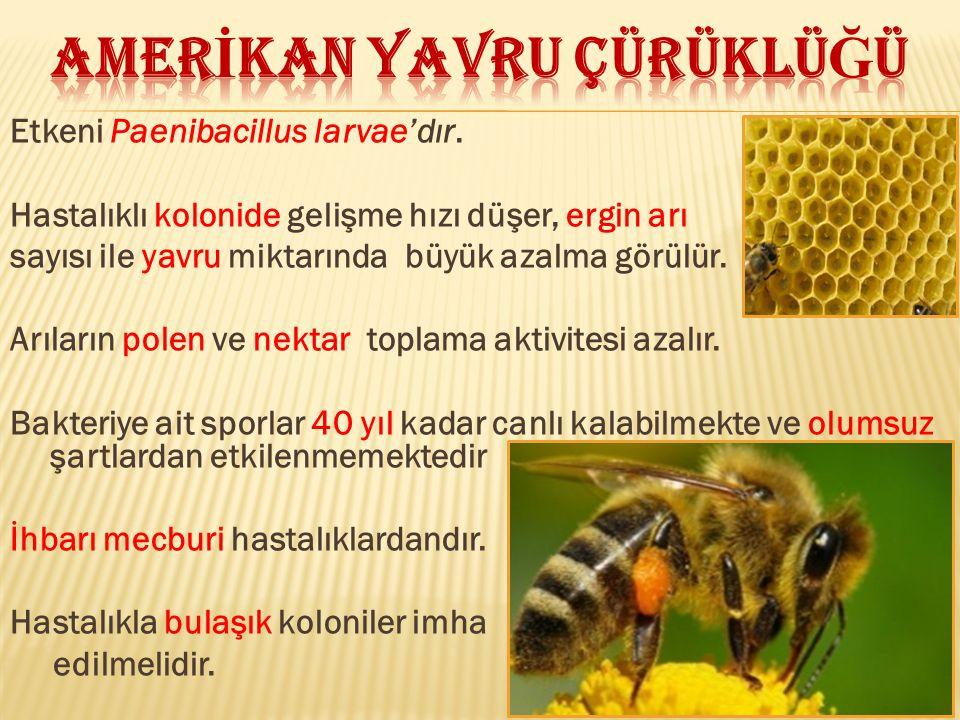 Etkeni Paenibacillus larvae'dır. Hastalıklı kolonide gelişme hızı düşer, ergin arı sayısı ile yavru miktarında büyük azalma görülür. Arıların polen ve