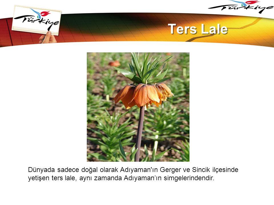 LOGO www.themegallery.com Ters Lale Dünyada sadece doğal olarak Adıyaman'ın Gerger ve Sincik ilçesinde yetişen ters lale, aynı zamanda Adıyaman'ın sim