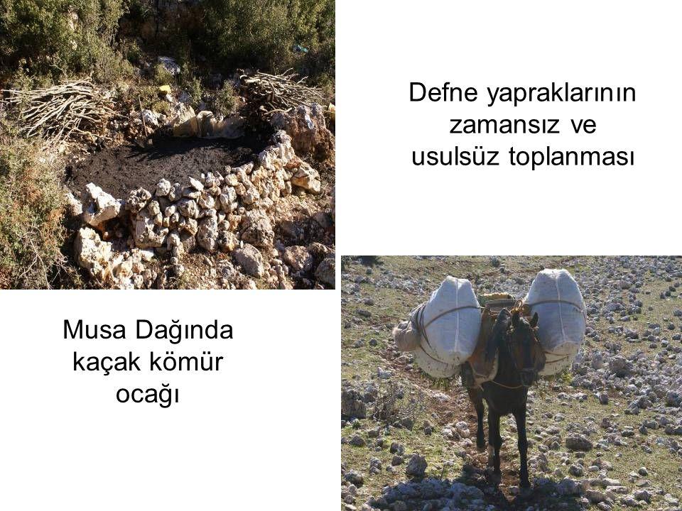Musa Dağında kaçak kömür ocağı Defne yapraklarının zamansız ve usulsüz toplanması