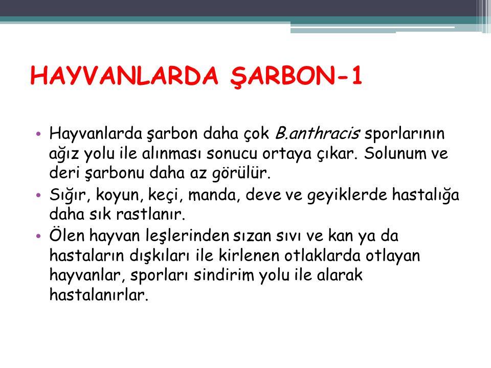 HAYVANLARDA ŞARBON-1 Hayvanlarda şarbon daha çok B.anthracis sporlarının ağız yolu ile alınması sonucu ortaya çıkar. Solunum ve deri şarbonu daha az g