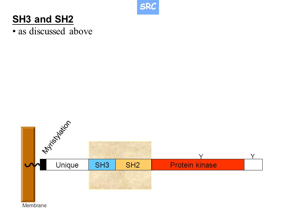 SH3SH2Protein kinase Unique Myristylation Membrane Y Y SH3 and SH2 as discussed above SRC