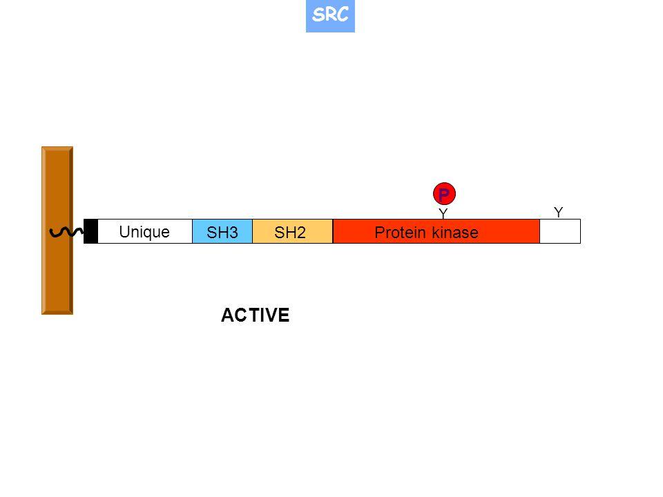 SH3SH2Protein kinase Unique Y Y P ACTIVE SRC