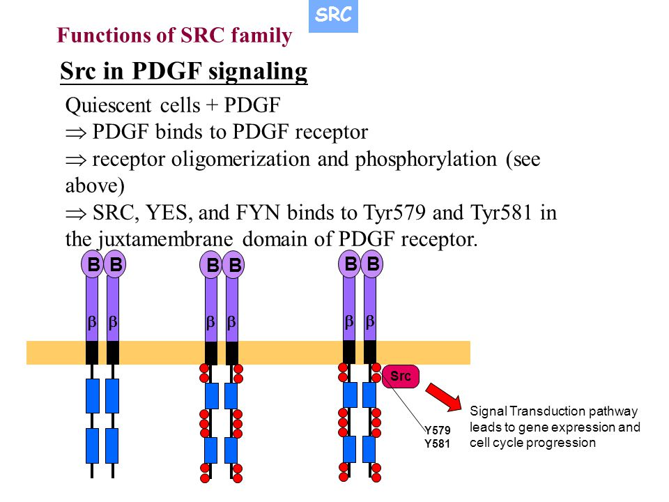 Functions of SRC family Src in PDGF signaling Quiescent cells + PDGF  PDGF binds to PDGF receptor  receptor oligomerization and phosphorylation (see above)  SRC, YES, and FYN binds to Tyr579 and Tyr581 in the juxtamembrane domain of PDGF receptor.