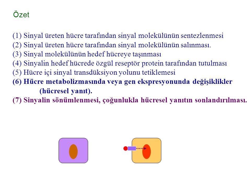 Özet (1) Sinyal üreten hücre tarafından sinyal molekülünün sentezlenmesi (2) Sinyal üreten hücre tarafından sinyal molekülünün salınması. (3) Sinyal m