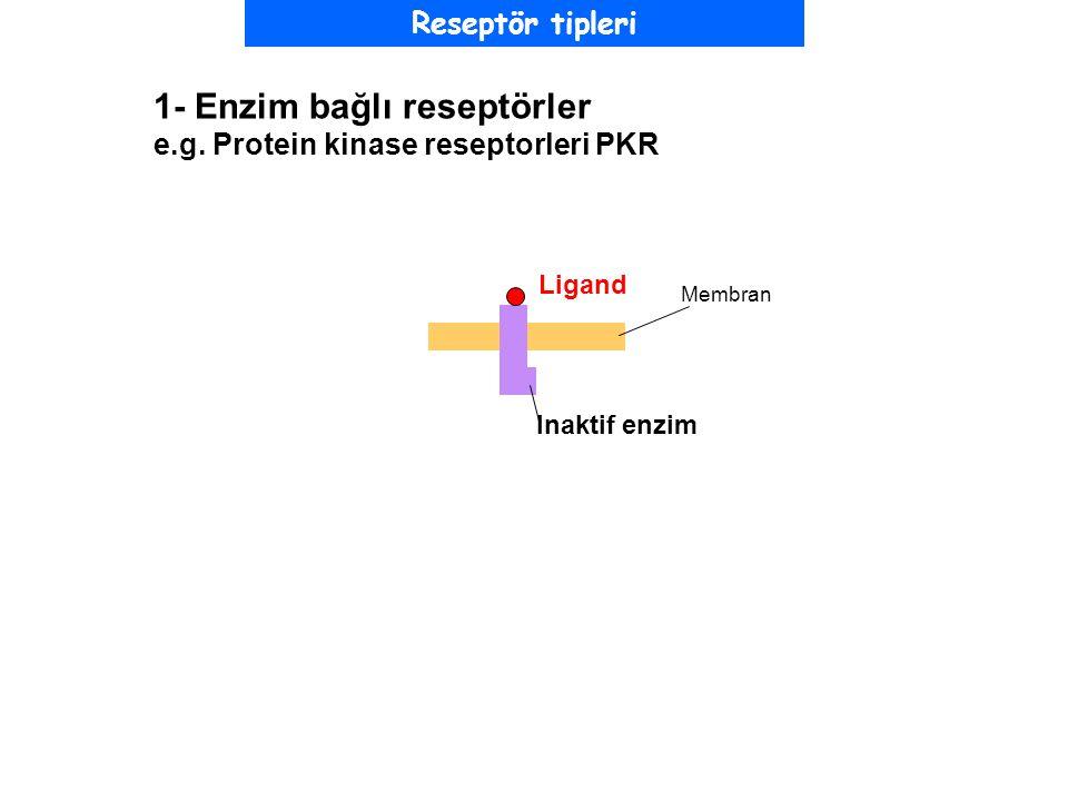 1- Enzim bağlı reseptörler e.g. Protein kinase reseptorleri PKR Inaktif enzim Ligand Membran Reseptör tipleri