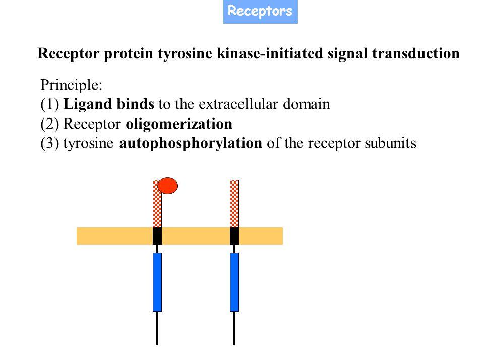 Receptor protein tyrosine kinase-initiated signal transduction Principle: (1) Ligand binds to the extracellular domain (2) Receptor oligomerization (3