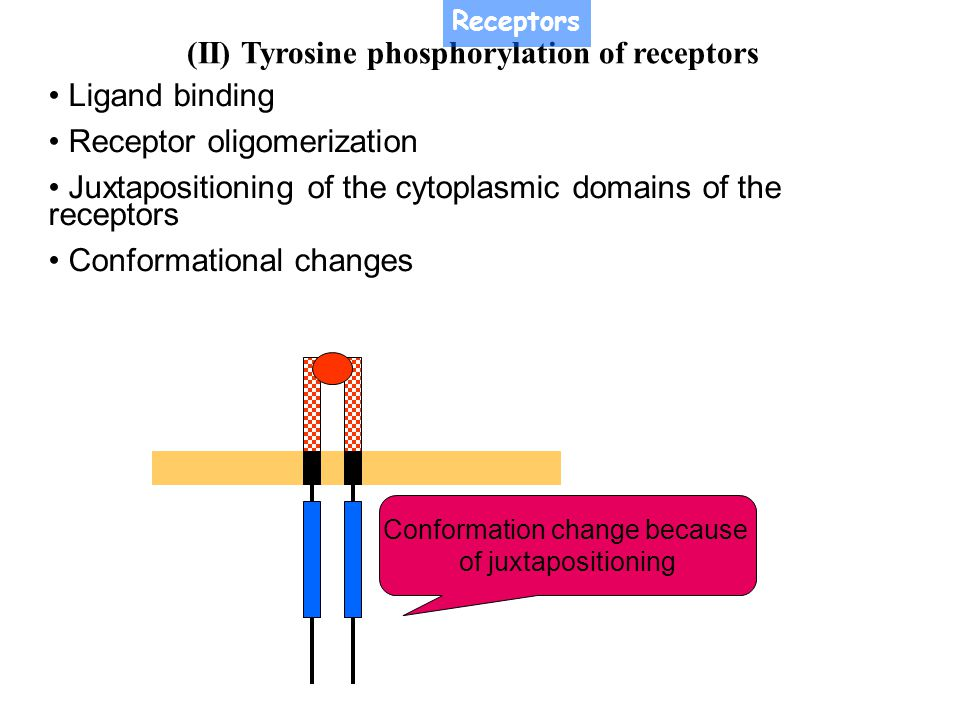 (II) Tyrosine phosphorylation of receptors The initial phosphorylation (occurs on Tyr857 in PDGF receptor) represent the major autophosphorylation site in PTK, is normally buried in the active site, preventing access of Mg 2+ -ATP.