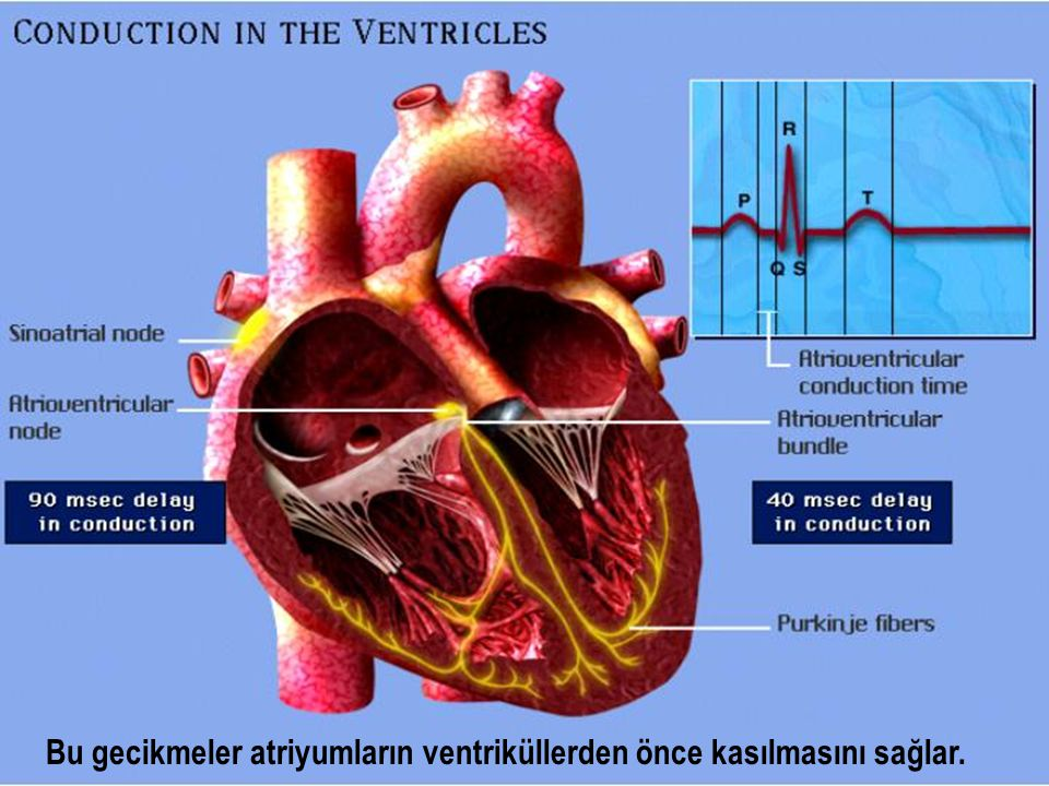 Bu gecikmeler atriyumların ventriküllerden önce kasılmasını sağlar.