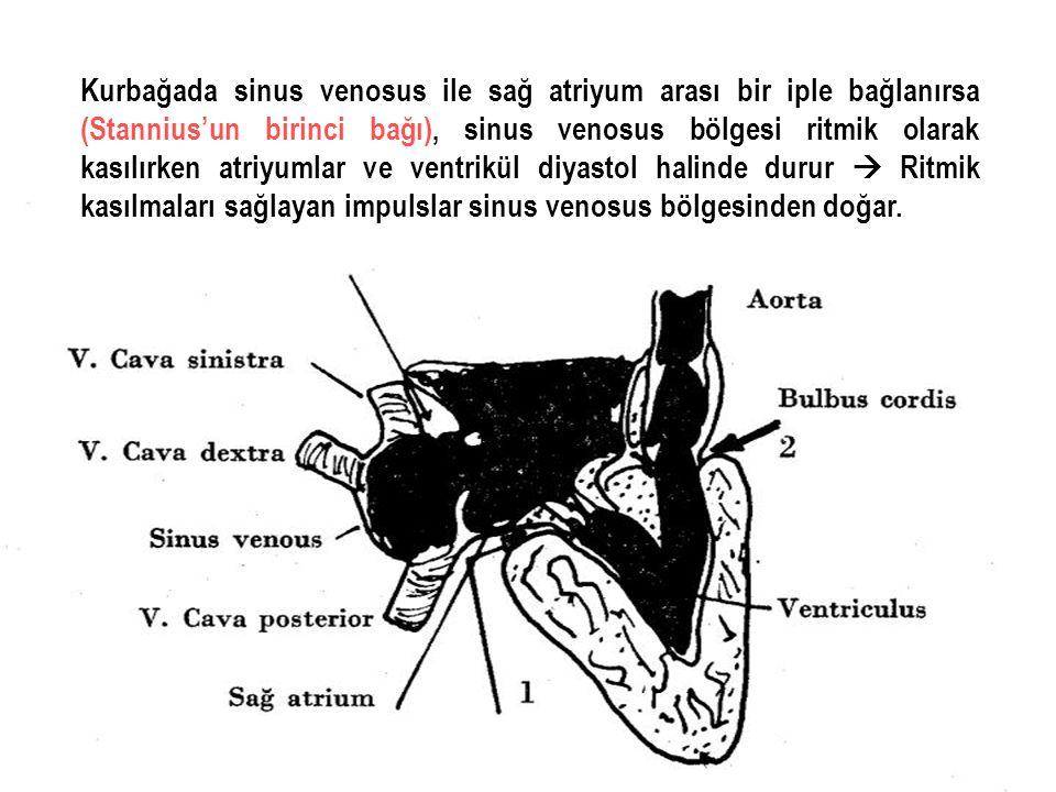 Kurbağada sinus venosus ile sağ atriyum arası bir iple bağlanırsa (Stannius'un birinci bağı), sinus venosus bölgesi ritmik olarak kasılırken atriyumla